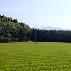 大茶樹がそだつ霧島で、たくさんの品種を栽培しています
