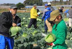 日中作業:キャベツ収穫