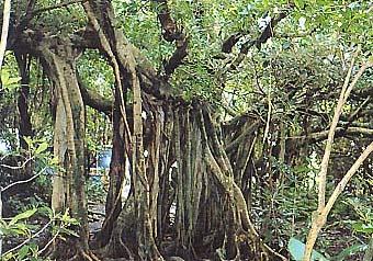 시토고 뽕나무과 나무원