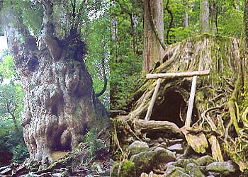 Jomon cedar (the photograph left)