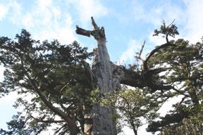 아키모토 삼나무